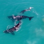 Southern Right whales in Walker Bay