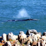 Southern Right Whale off De Kelders Gansbaai South Africa