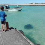 Stingray off the pier at Struisbaai