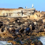 Seal colony at Dyer Island South Africa