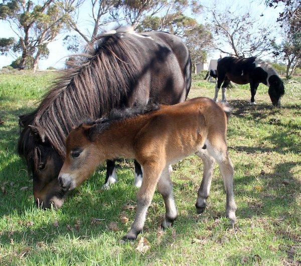 Miniature horses on Pearly Beach Horse Trails farm